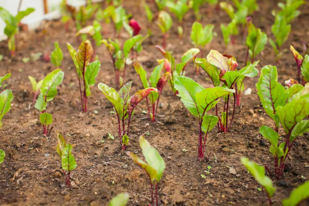 Beets Thinning