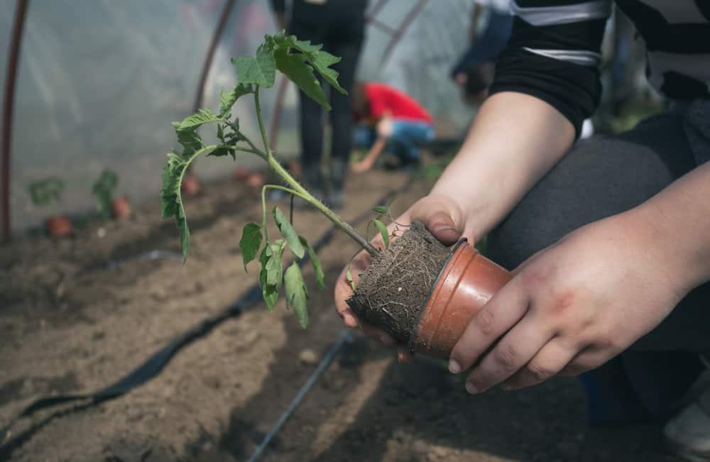 TomatoesTransplanting