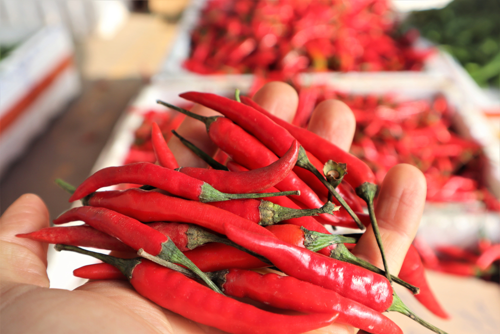 What Makes Chili Peppers Spicy