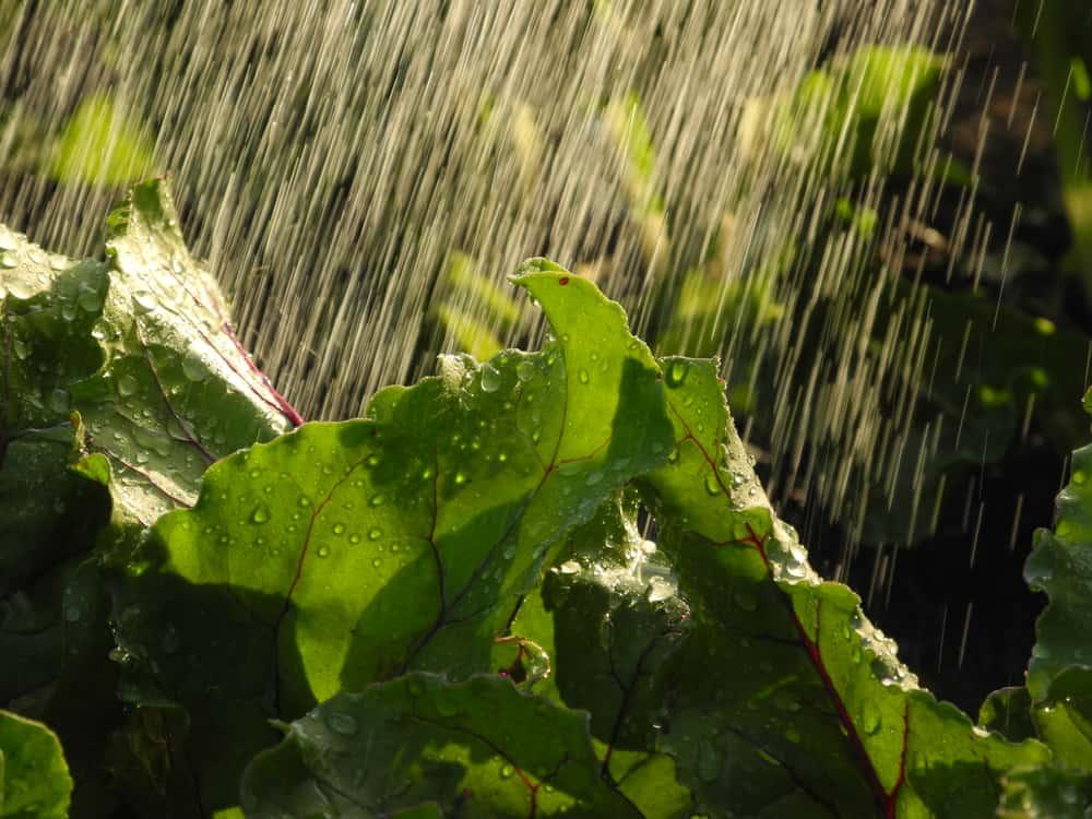 beets Watering