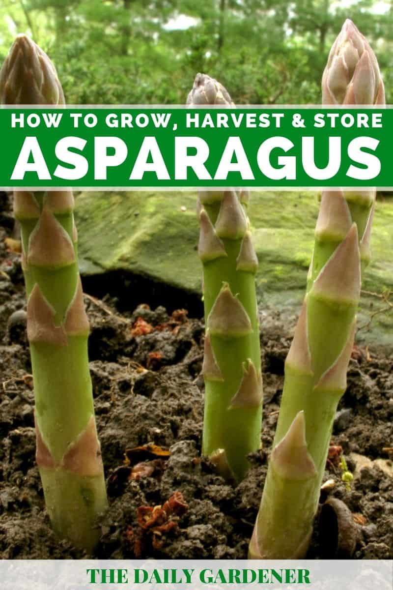 growing asparagus 3