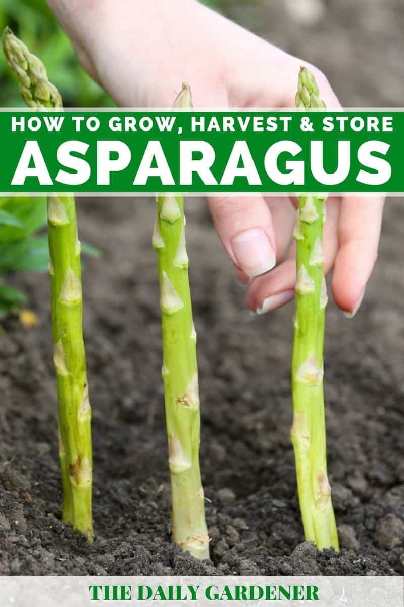 growing asparagus 4