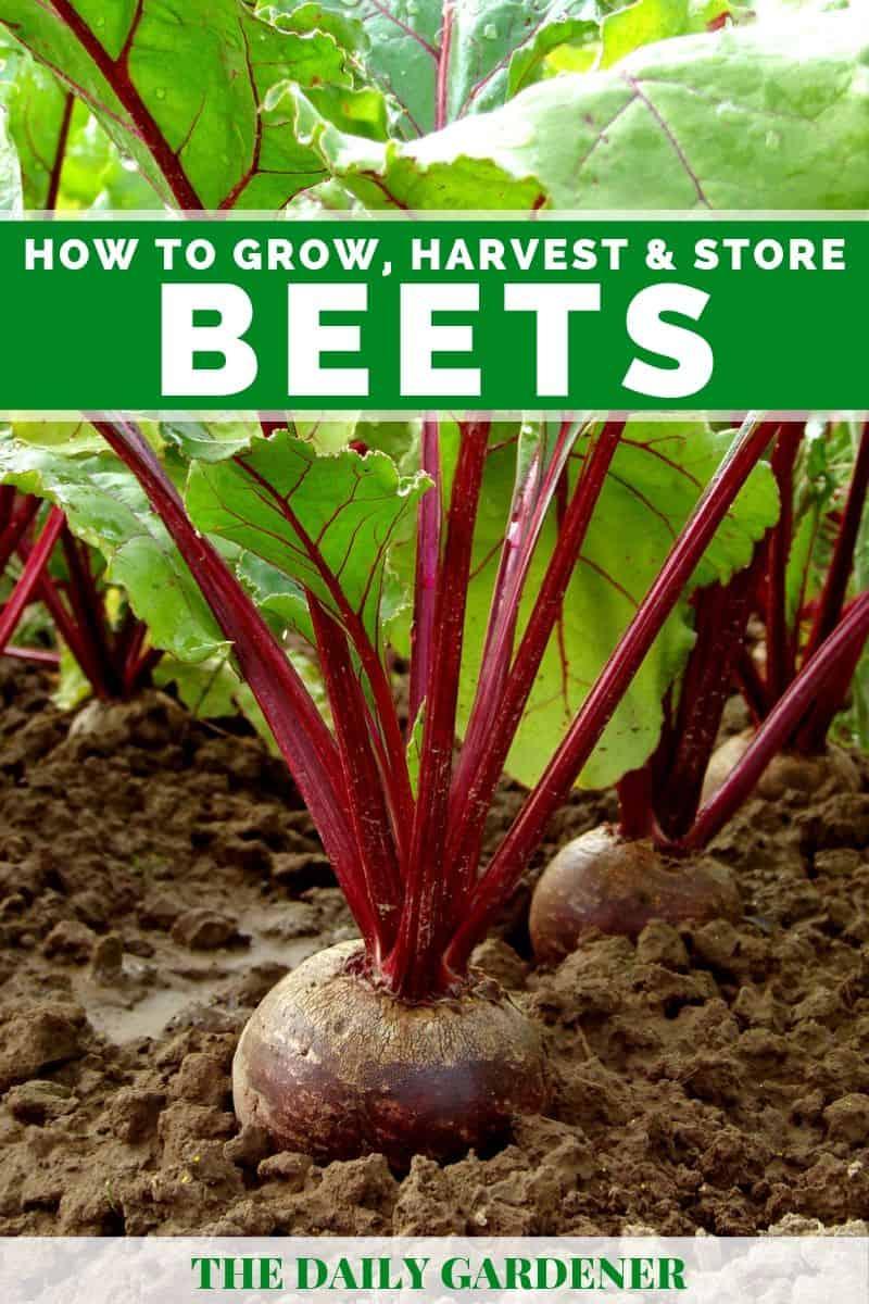 growing beets 1