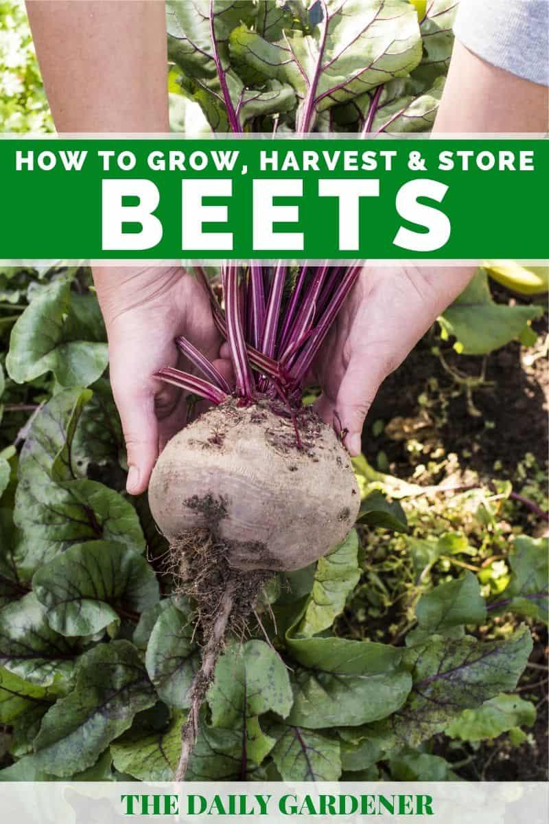growing beets 2