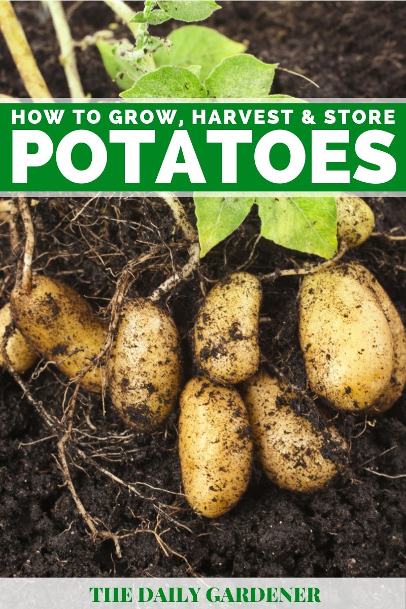 growing potatoes 1