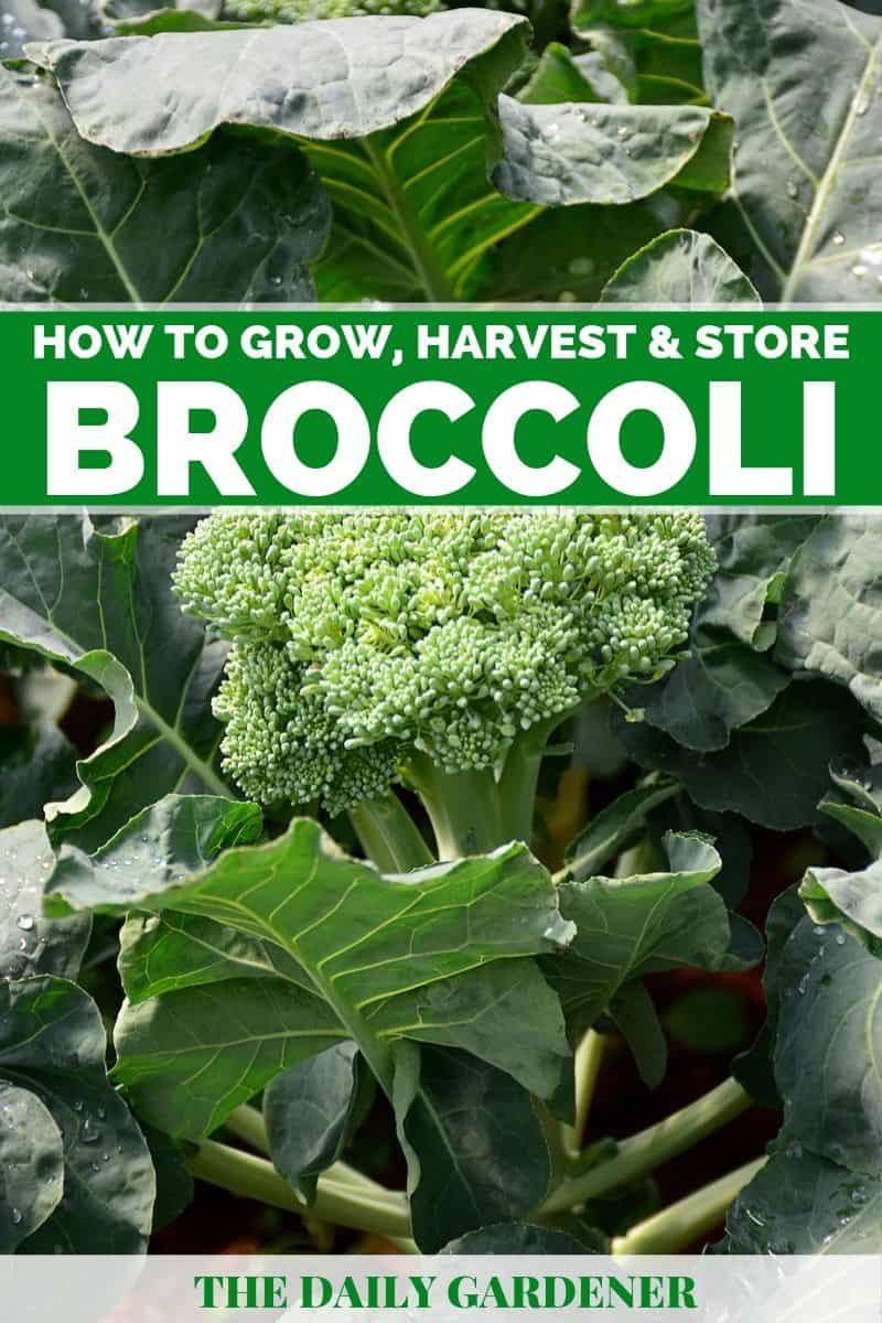 how to grow broccoli 1