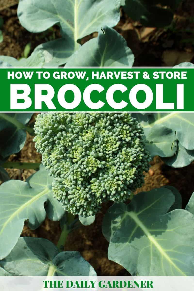 how to grow broccoli 2