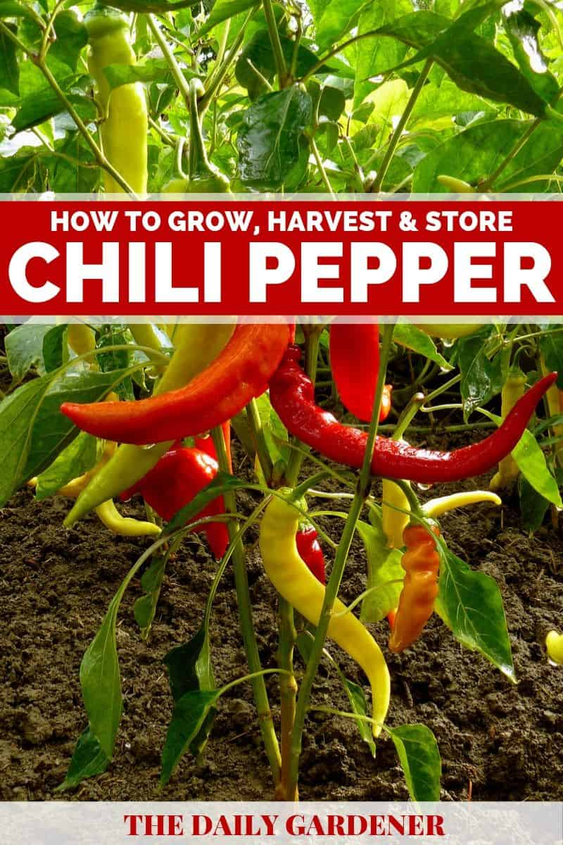 how to grow chili pepper 1