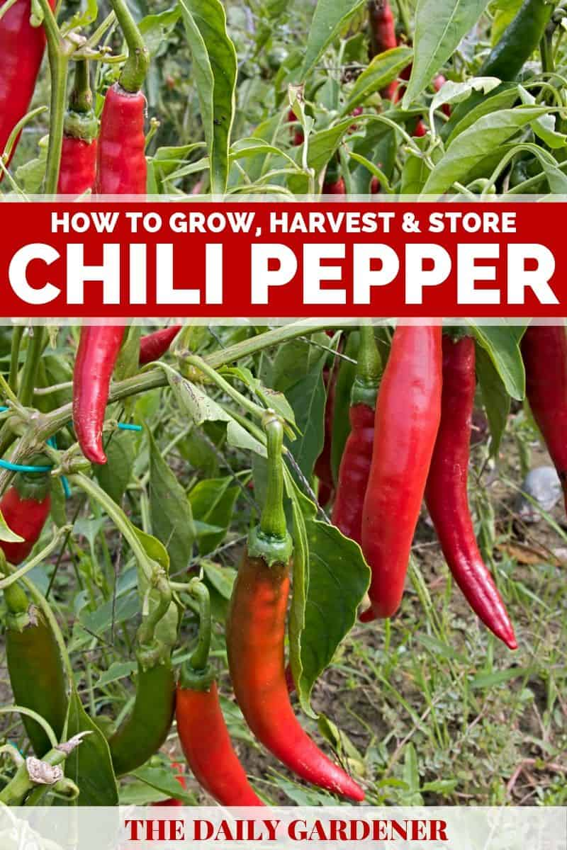 how to grow chili pepper 2