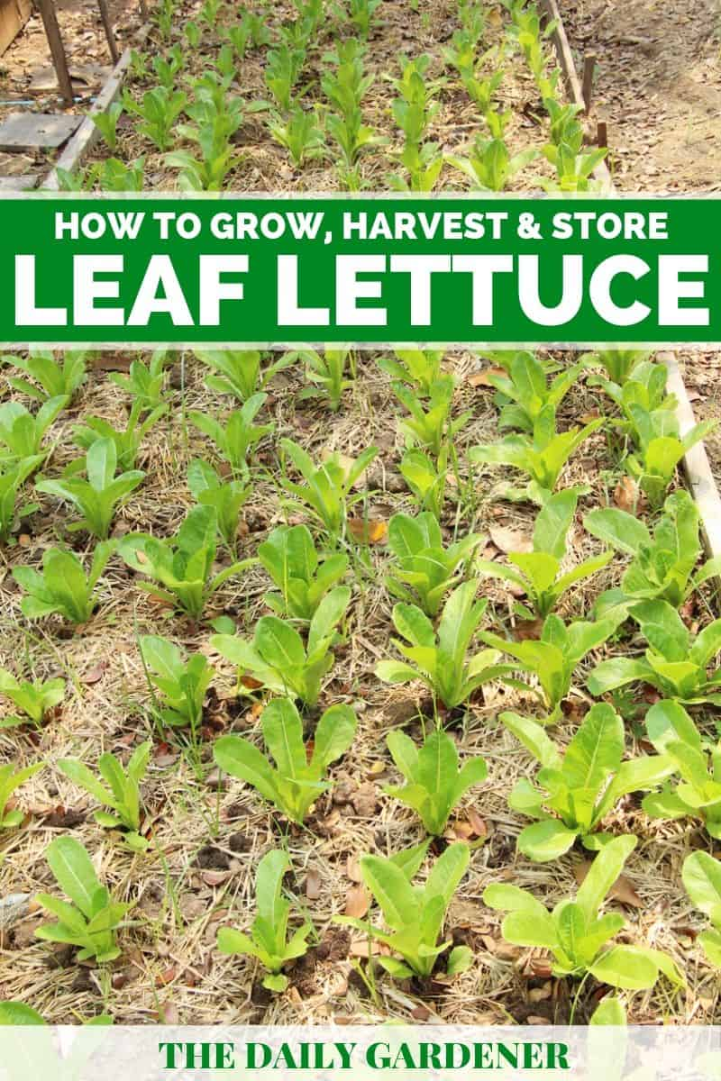 how to grow leaf lettuce 1