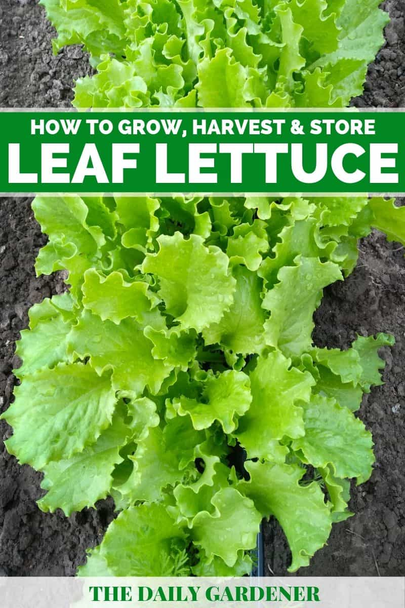 how to grow leaf lettuce 2