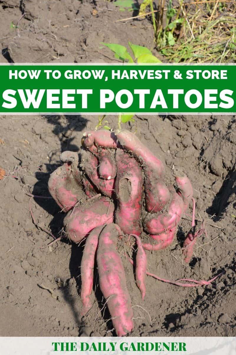 how to grow sweet potatoes 1