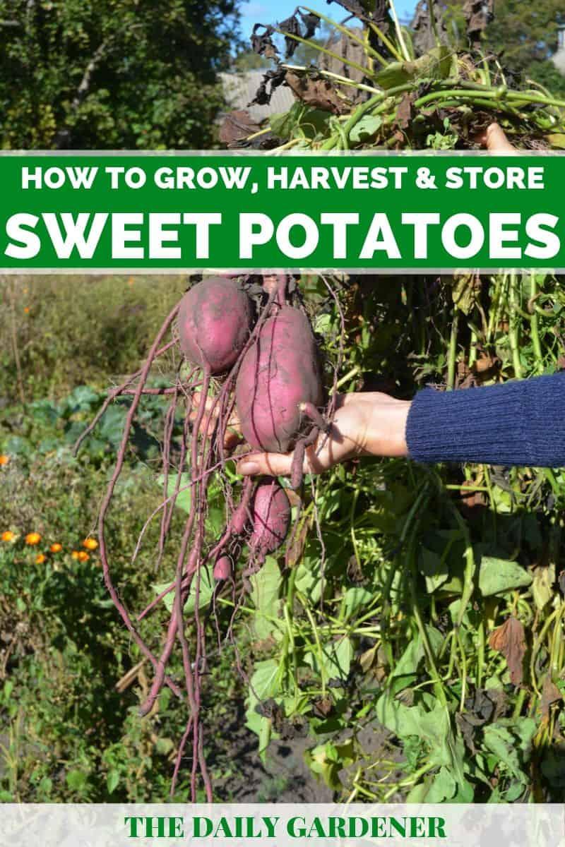 how to grow sweet potatoes 2