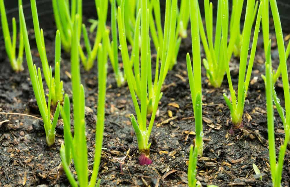 onion Thinning