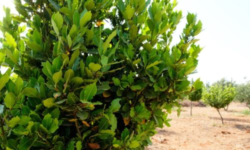 Bay Laurel: An Excellent Aromatic Seasoning in Your Garden