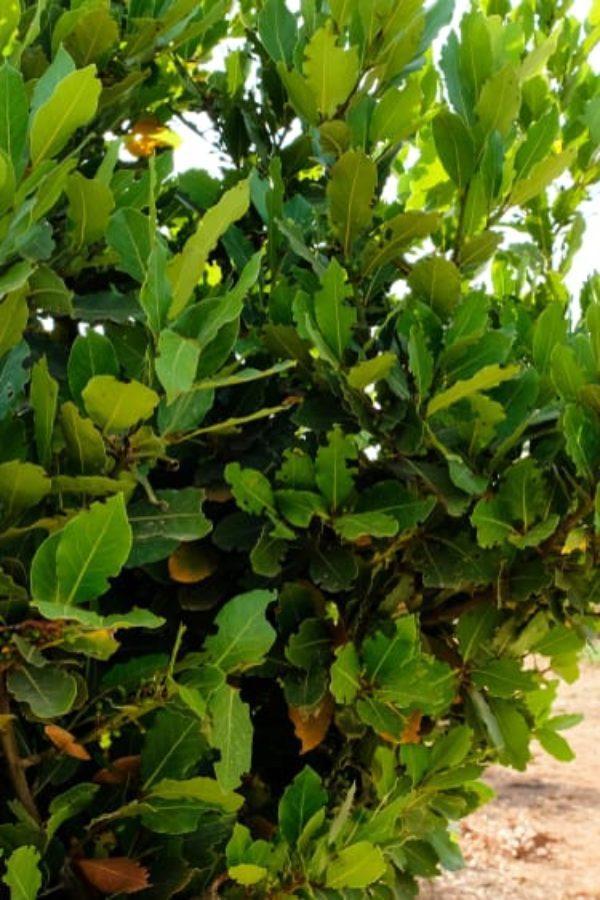 Bay Laurel: An Excellent Aromatic Seasoning in Your Garden