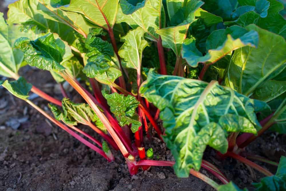 Benefits of Rhubarb