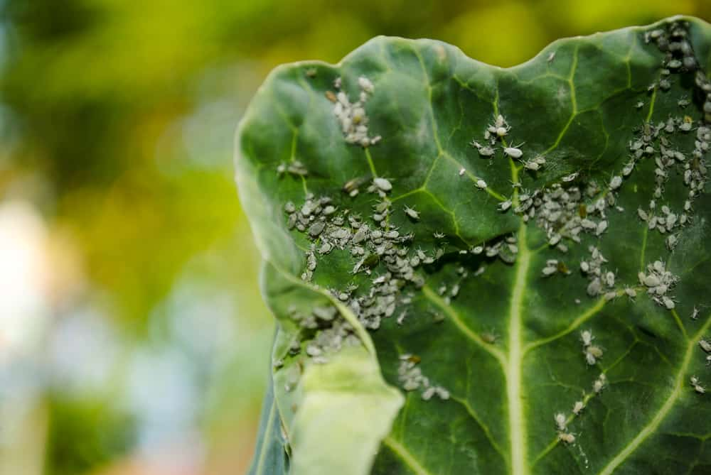 Brussels Sprouts Aphids