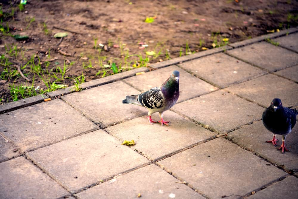 Brussels Sprouts Pigeons