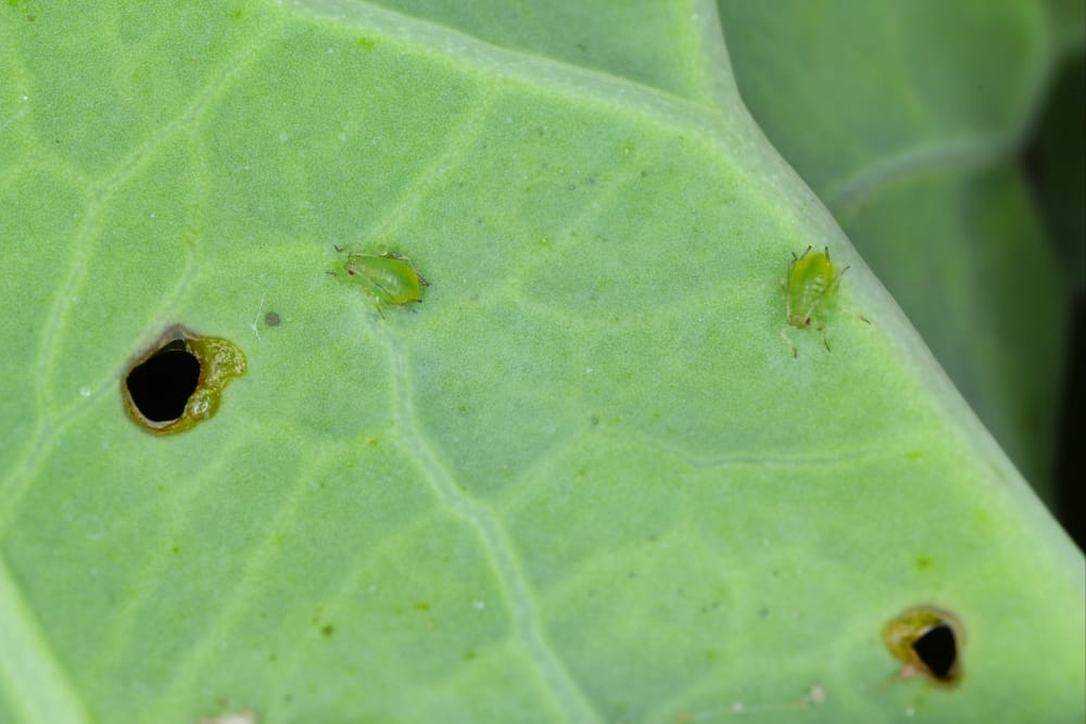 Cauliflower Aphids