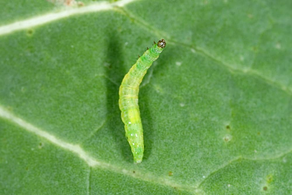 Cauliflower Caterpillars