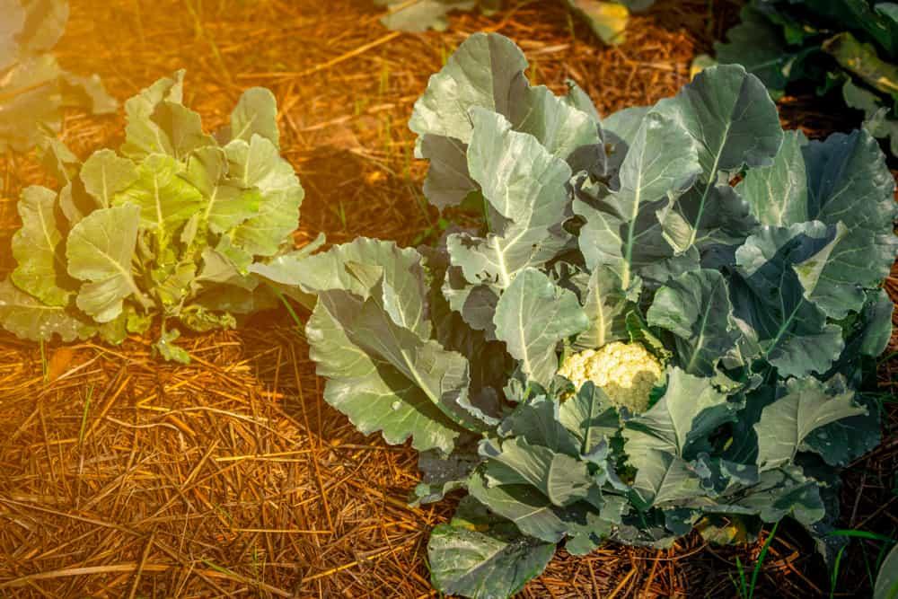Cauliflower Mulching