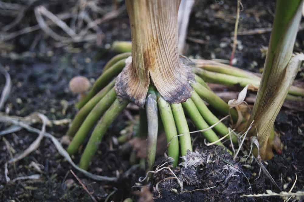 Corn Root rot