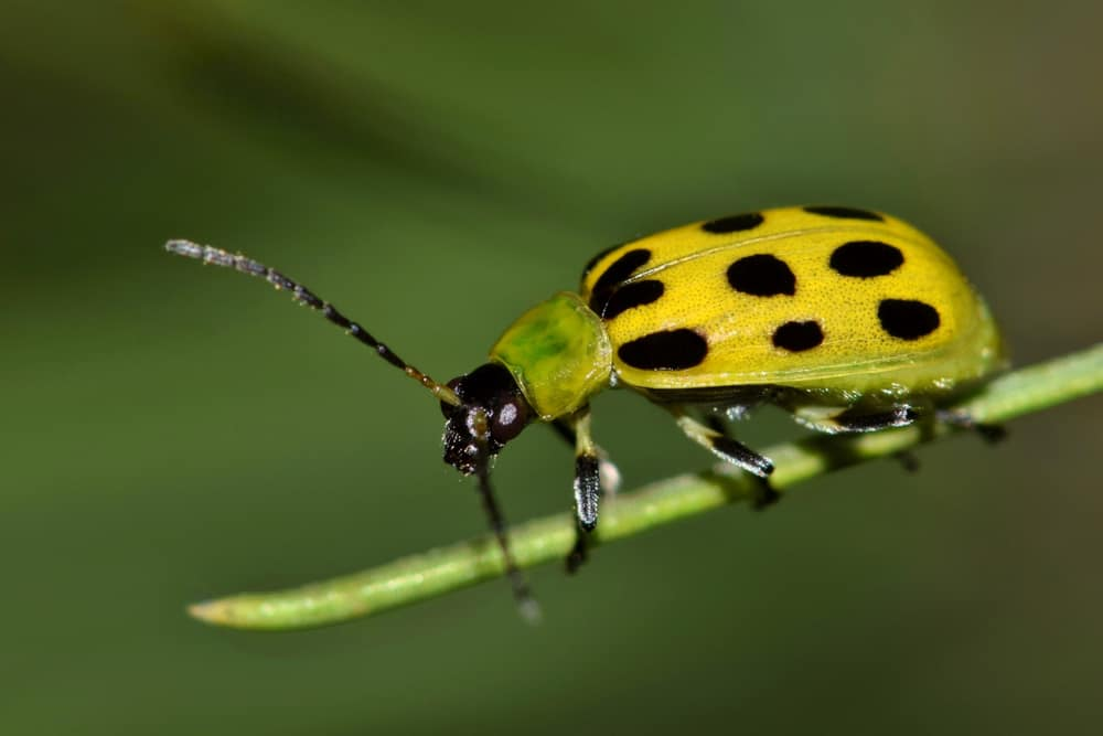 Cucumber Beetles