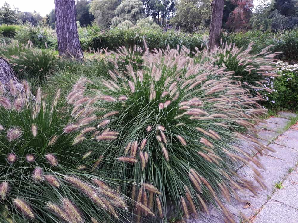 Desert Plains Fountain Grass