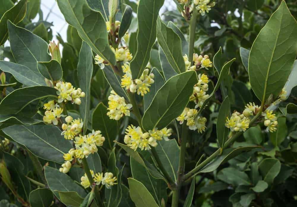 Facts about Bay Laurel