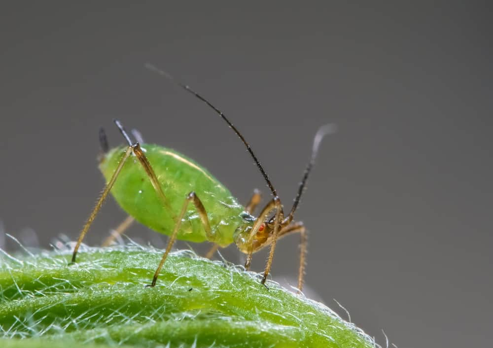 Fennel Aphids