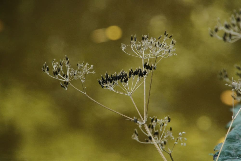 Fennel Leaf blight