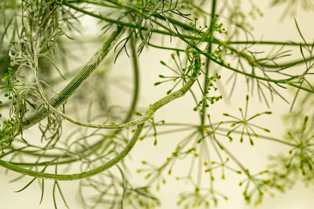Fennel Powdery mildew