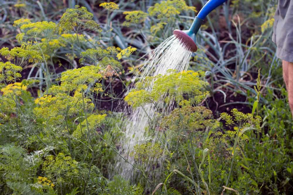 Fennel Watering