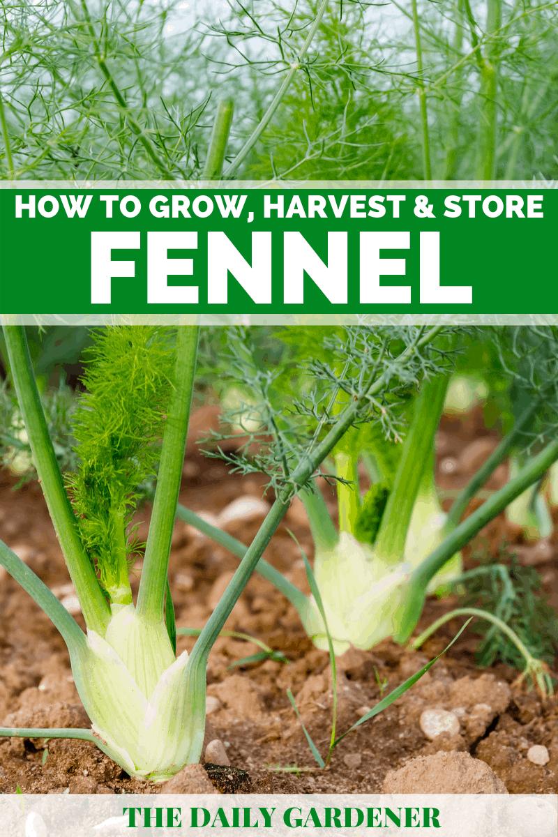 Growing Fennel 1
