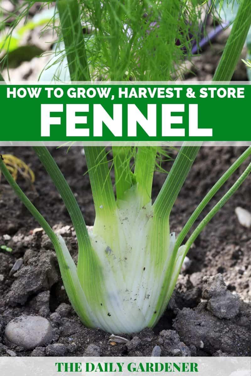 Growing Fennel 3