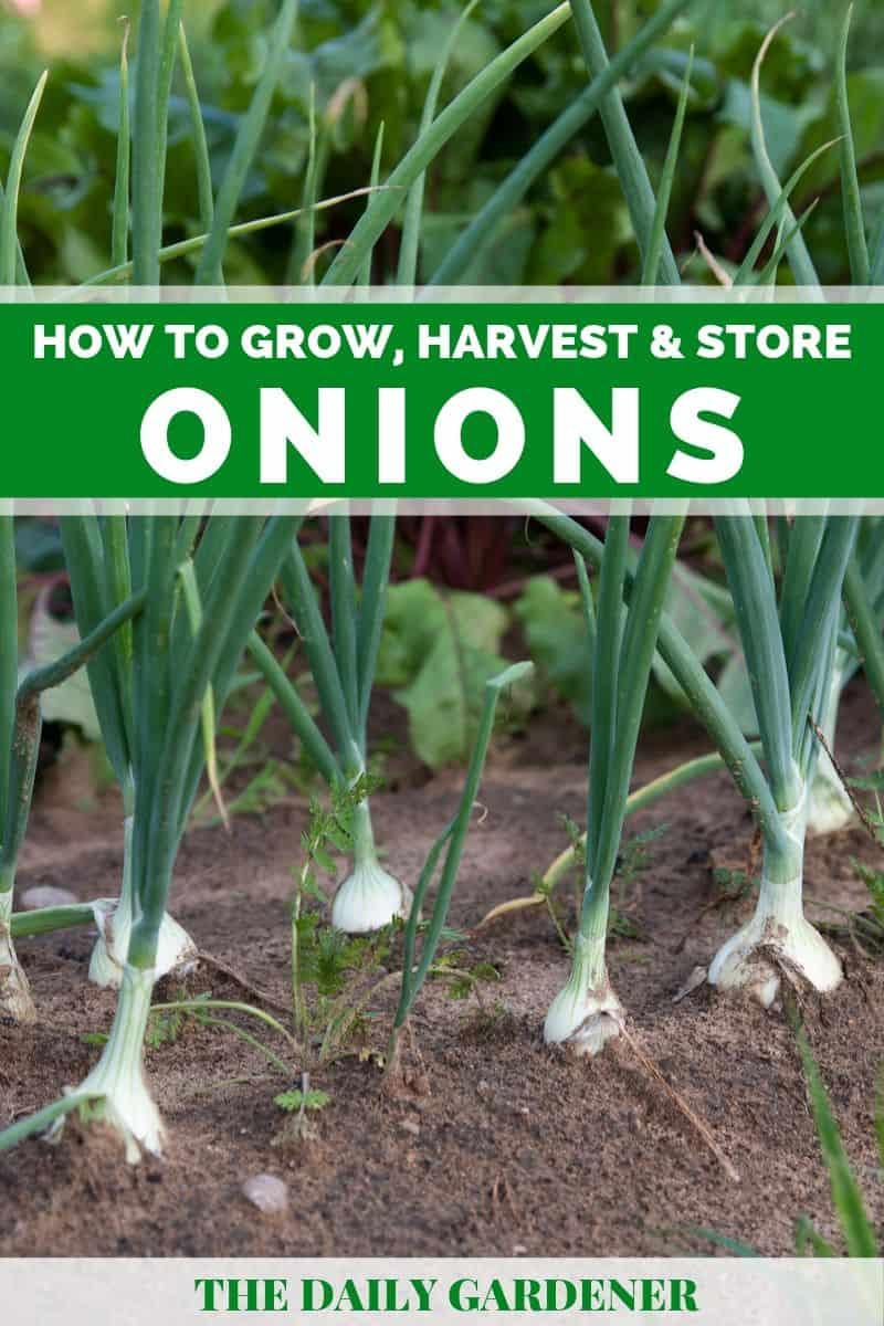 Growing Onions 2