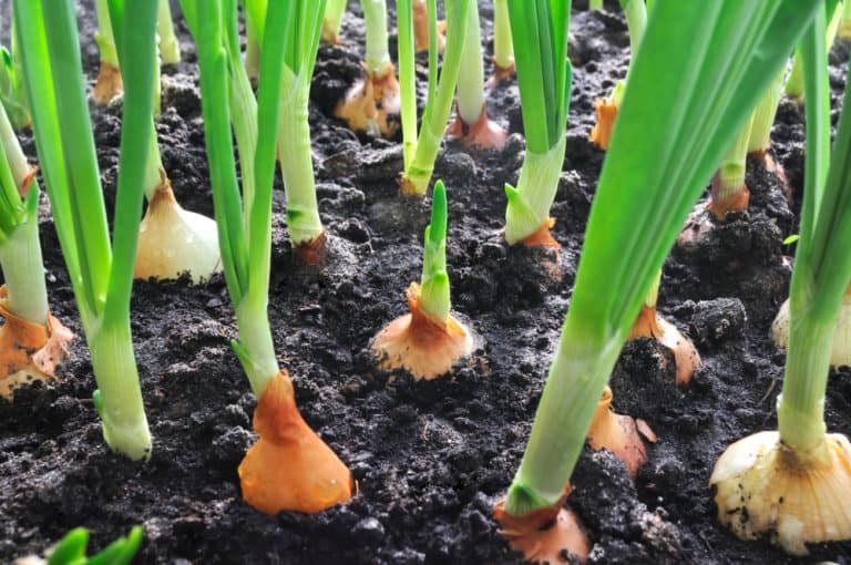 Growing Onions A Full of Nutrients Veggie with Low Calories