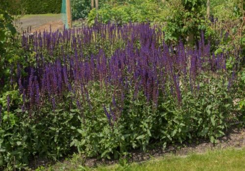 Growing Salvias: A Flower with 1000+ Species Worldwide