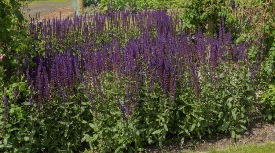Growing Salvias A Flower with 1000+ Species Worldwide