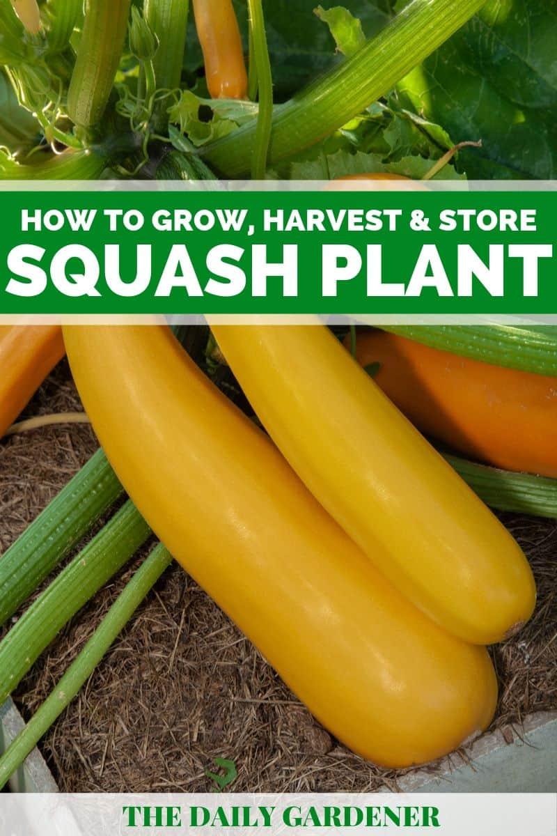 Growing Squash Plant 5