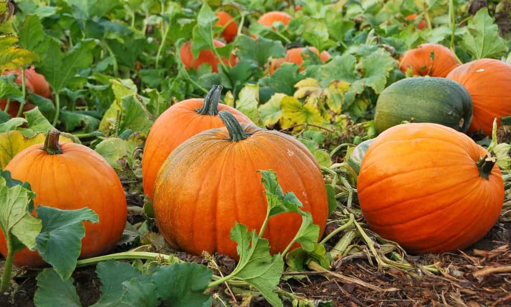 Growing Squash Plant - A Generous Fruits for the Whole Family