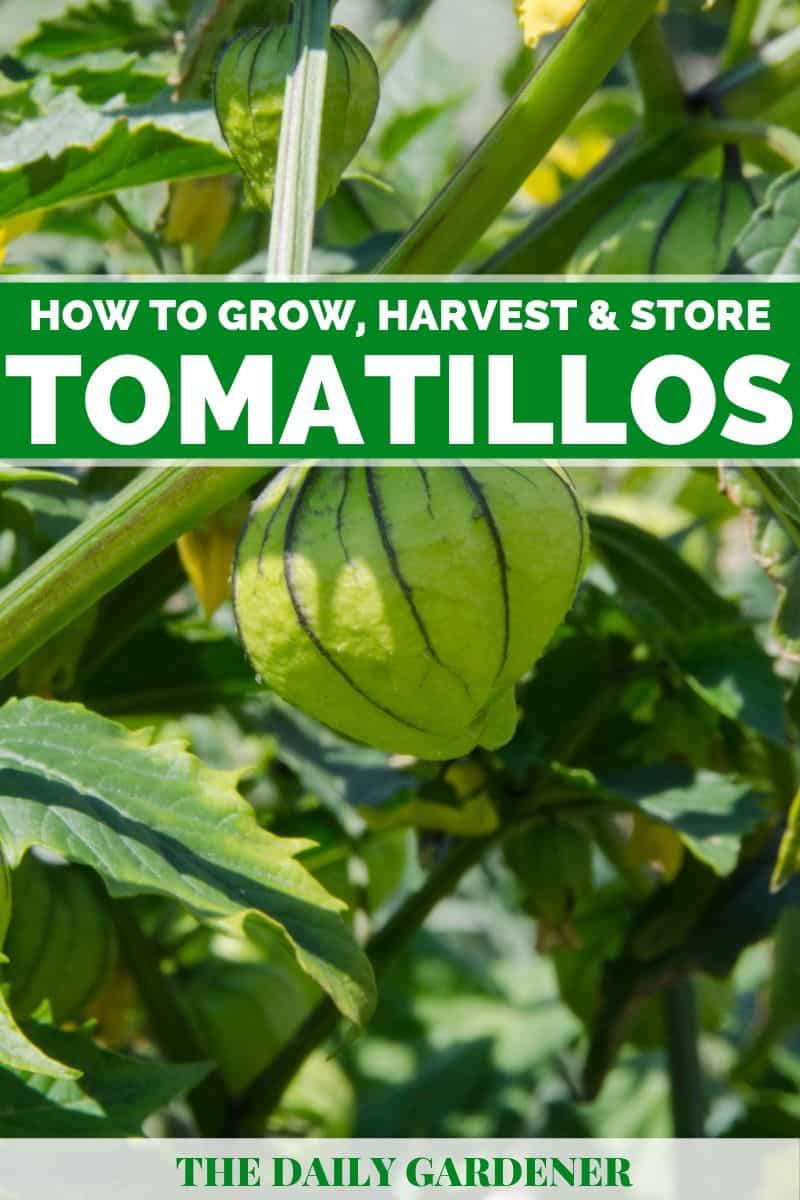 Growing Tomatillos 1