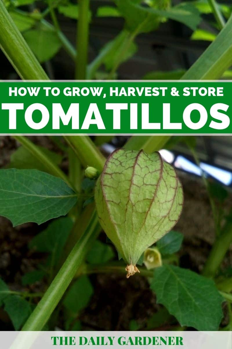 Growing Tomatillos 3