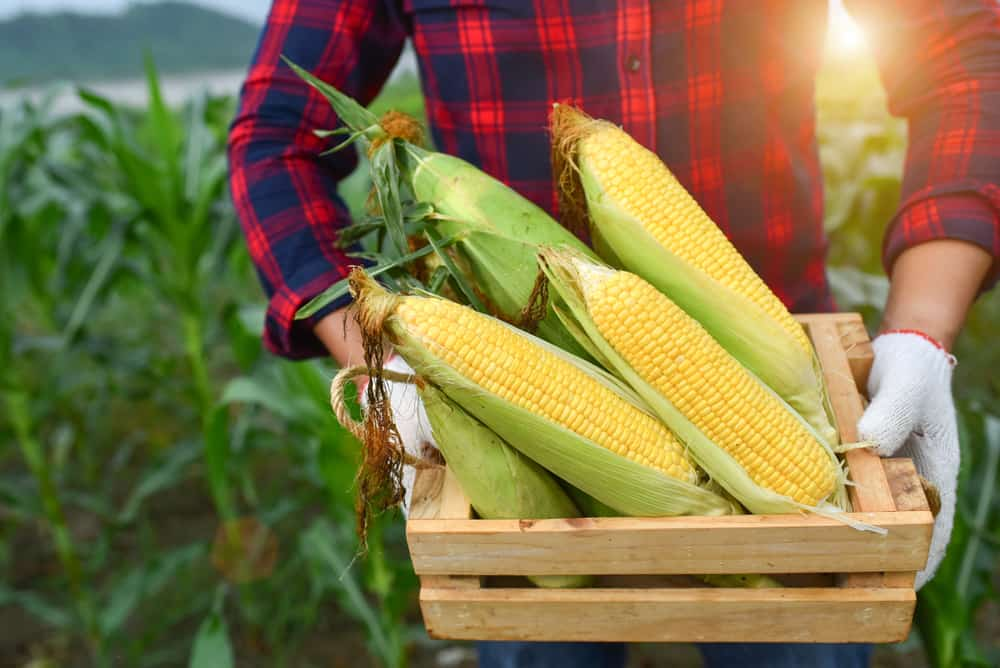 How To Harvest Sweet Corn
