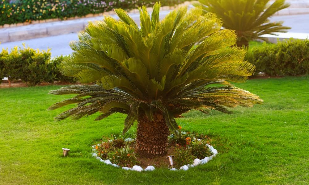 How to Grow & Care Sago Palm Tree in Your Backyard