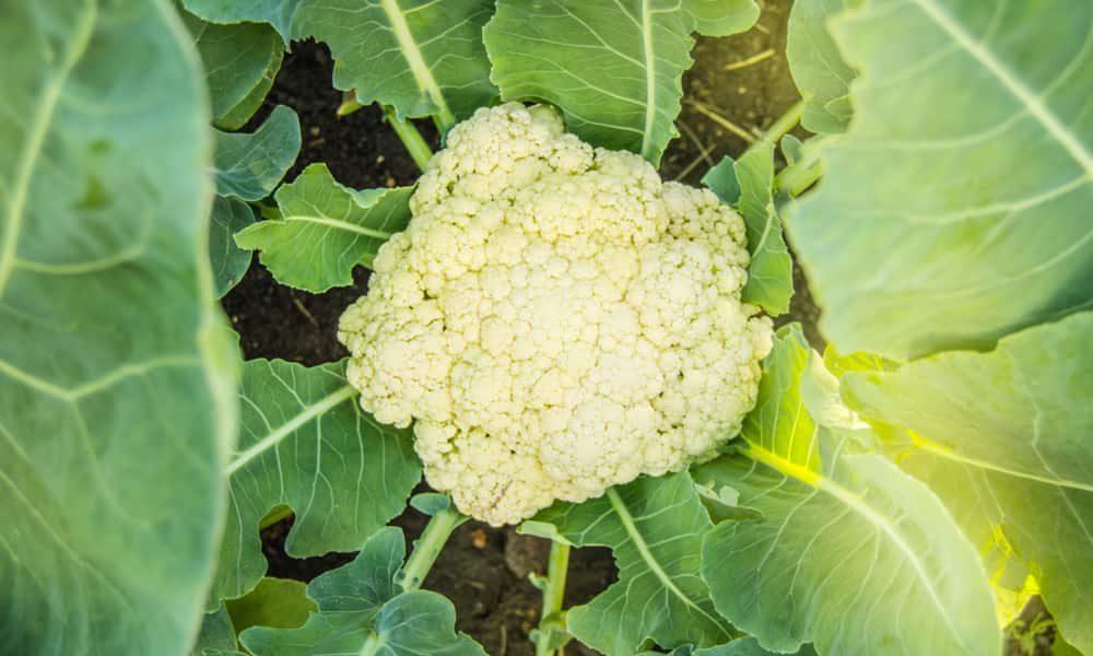 How to Grow Cauliflower in Your Garden