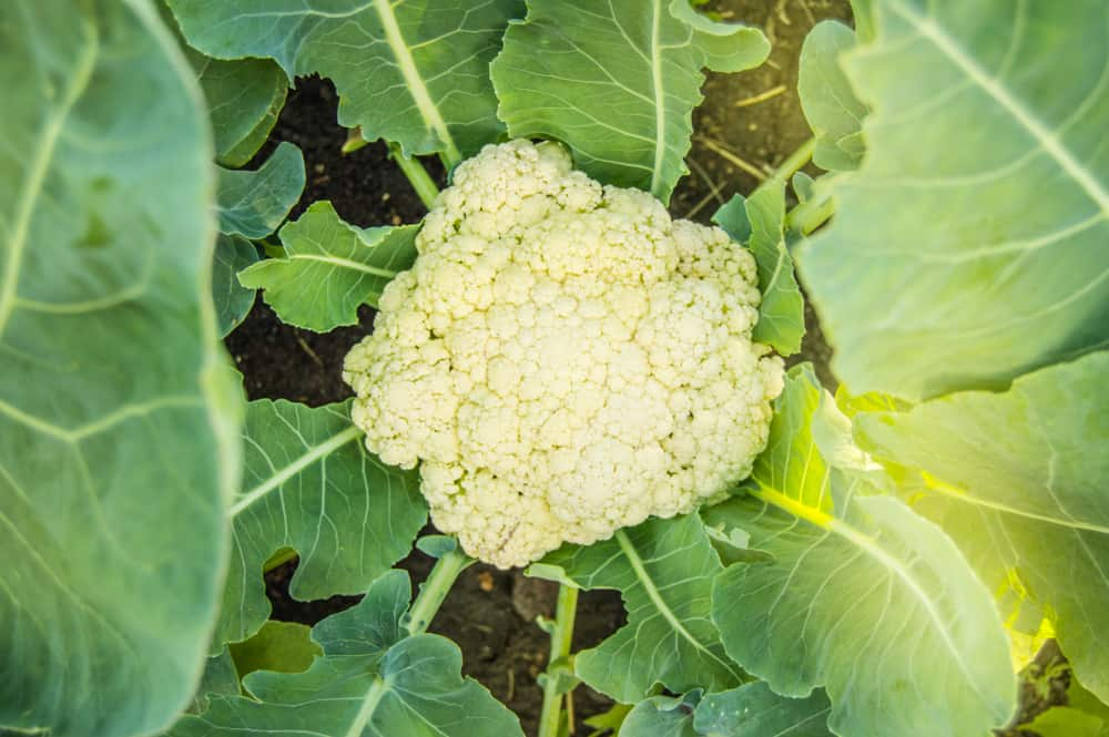 How to Grow Cauliflower in Your Garden