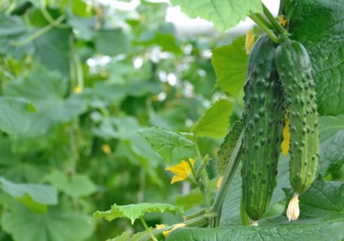 How to Grow, Harvest, and Store Cucumbers?