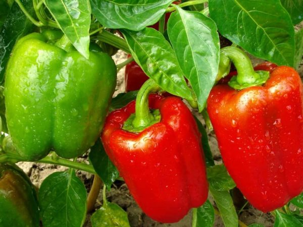 How to Plant Bell Pepper in Your Garden (Tricks to Care!)